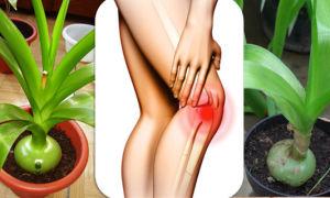 Китайский лук: лечение суставов и рецепты настойки