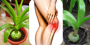 Индийский лук выращивание. Лечение индийским луком. Лечение суставов индийским луком. Рецепты настоек индийского лука для лечения суставов