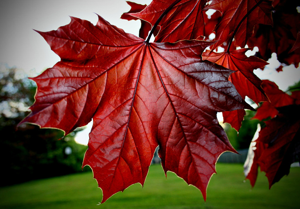 Лечение суставов кленовыми листьями: как действует