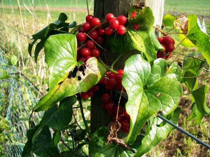 Адамов корень: рецепт настойки для суставов и не только