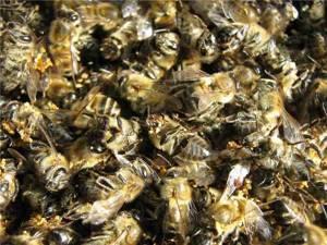 Подмор пчелиный для суставов: рецепты и полезные свойства